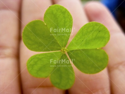 Fair Trade Photo Artistique, Clover, Colour image, Good luck, Horizontal, Leaf, Peru, South America, Thinking of you, Trefoil
