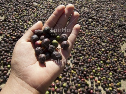 Fair Trade Photo Agriculture, Coffee, Colour image, Day, Focus on foreground, Food and alimentation, Hand, Harvest, Holding, Horizontal, Outdoor, People, Peru, Rural, South America