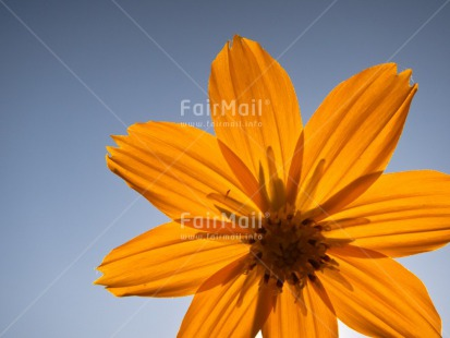Fair Trade Photo Blue, Closeup, Colour image, Day, Flower, Horizontal, Light, Outdoor, Peru, Seasons, Sky, South America, Summer, Transparent, Yellow