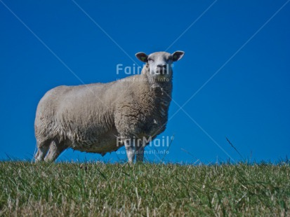 Fair Trade Photo Agriculture, Animals, Blue, Day, Europe, Grass, Green, Horizontal, Outdoor, Rural, Sheep, Sky