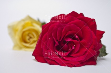 Fair Trade Photo Closeup, Colour image, Horizontal, Indoor, Love, Mothers day, Peru, Red, Rose, South America, Studio, Together, Valentines day, White