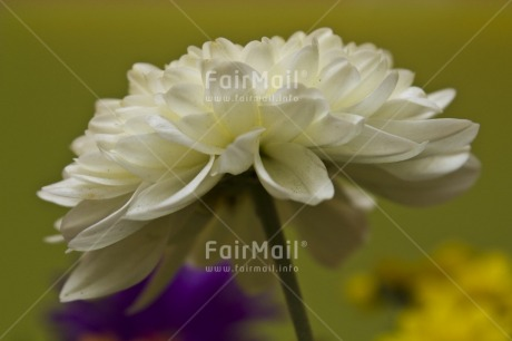Fair Trade Photo Closeup, Colour image, Flower, Green, Horizontal, Indoor, Low angle view, Peru, South America, Studio, White